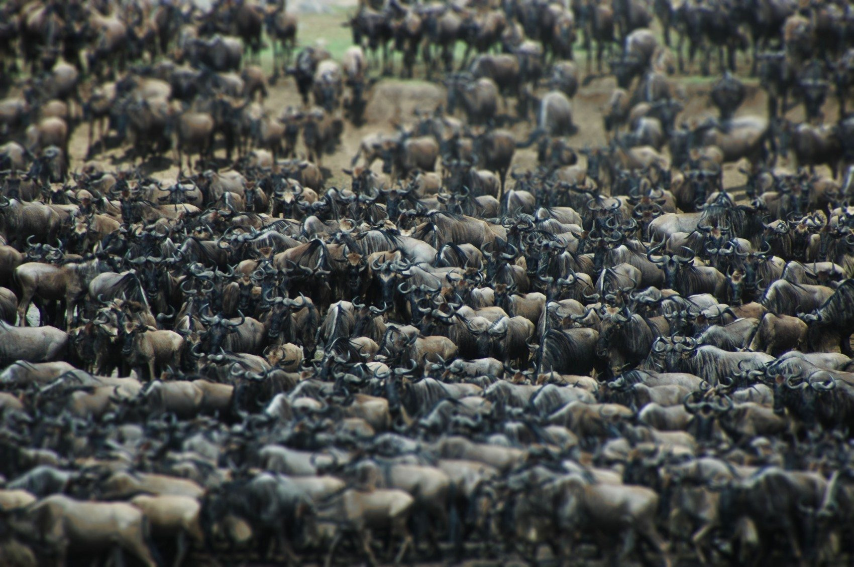 Getting the Most out of Africa's Great Wildebeest Migration