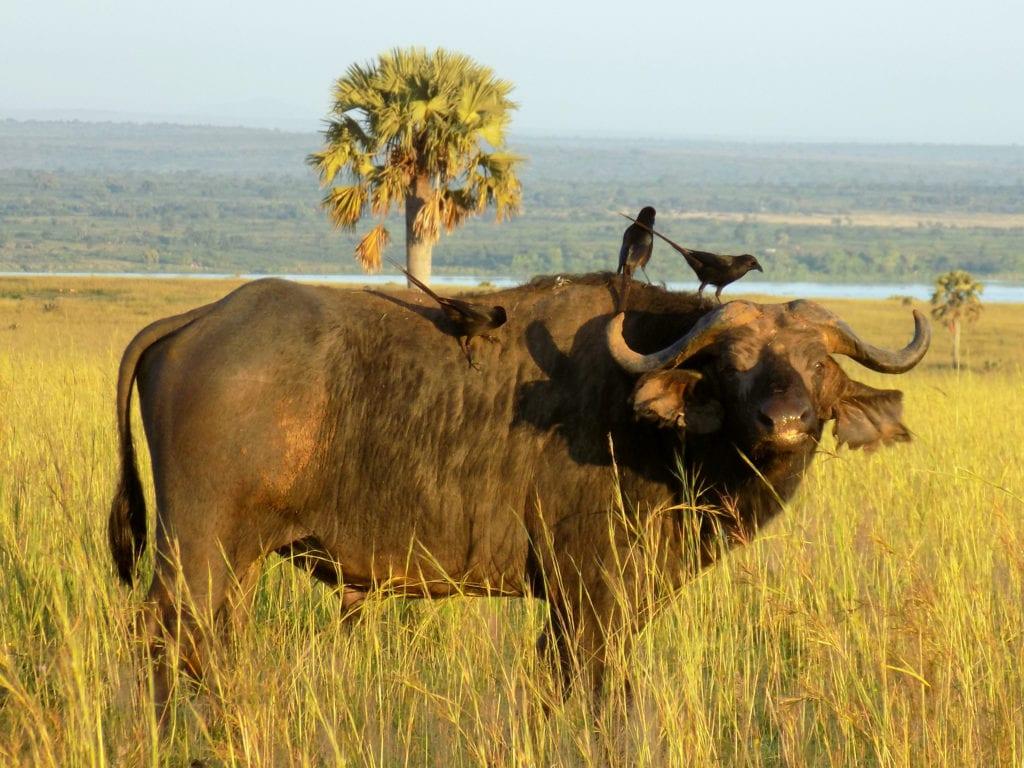 Africa's Big 5 – Cape Buffalo