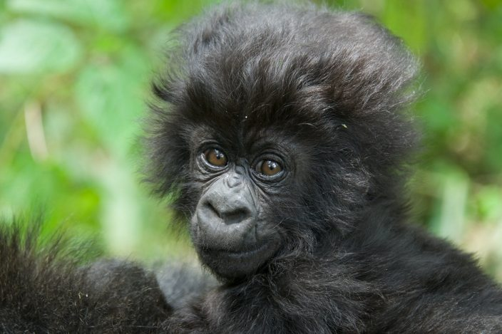 5 Great Reasons to Gorilla Trek (Soon!)