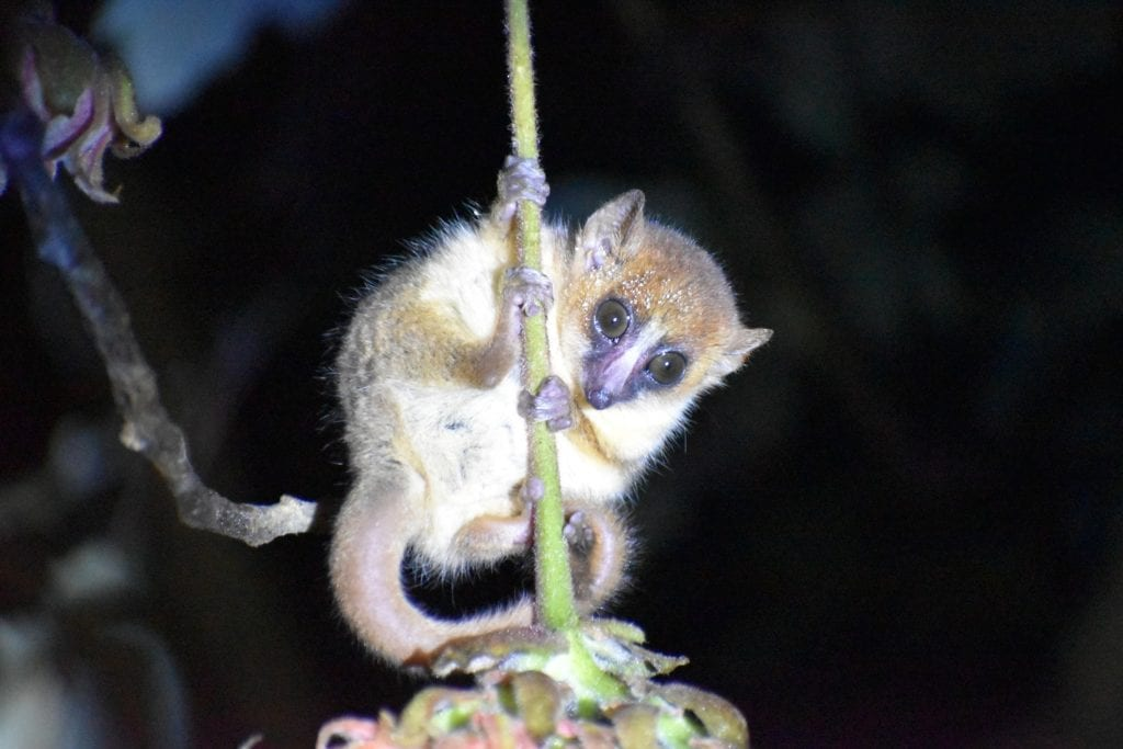 Goodmans mouse lemur in Madagascar